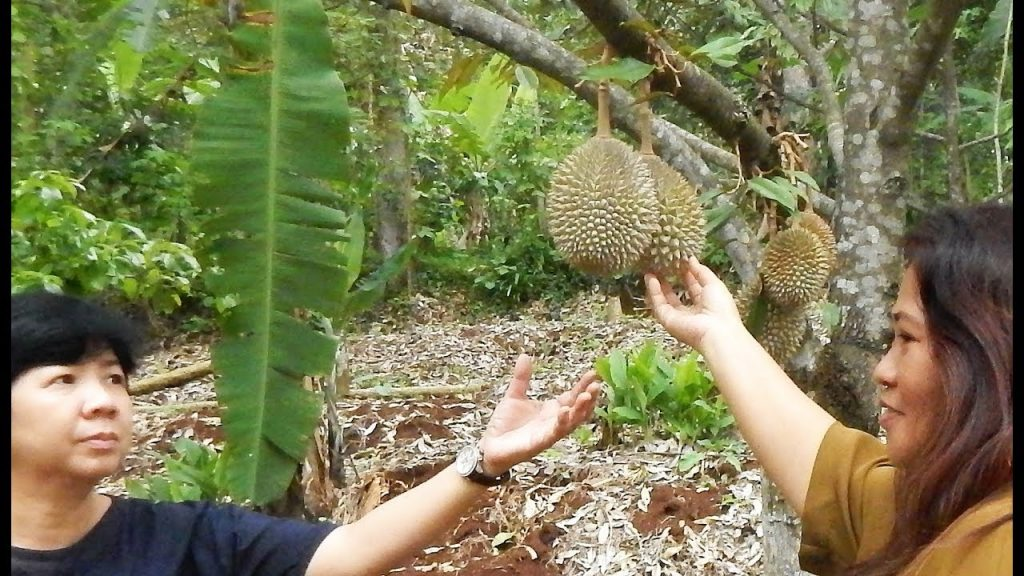 Bentuk Durian Lonjong